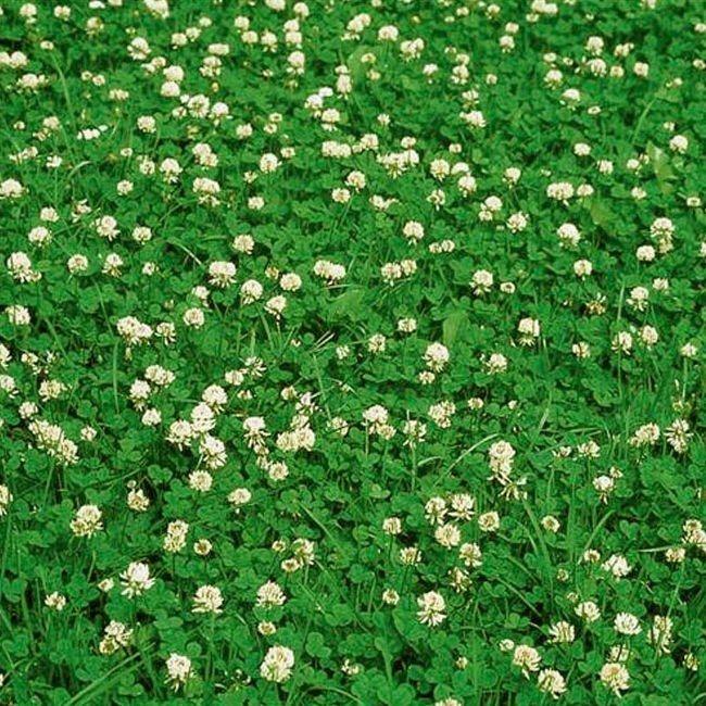 graines-trefle-blanc-nain-huia